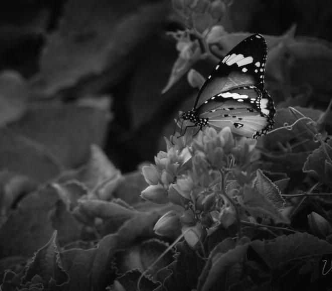 papillon noir et blanc - viezuel